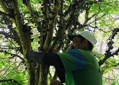 Agricultores de Serraria produzem vinho artesanal de jabuticaba
